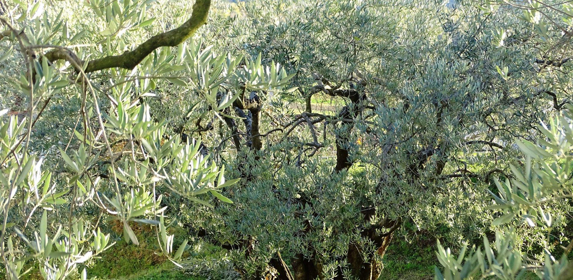 olivier en provence