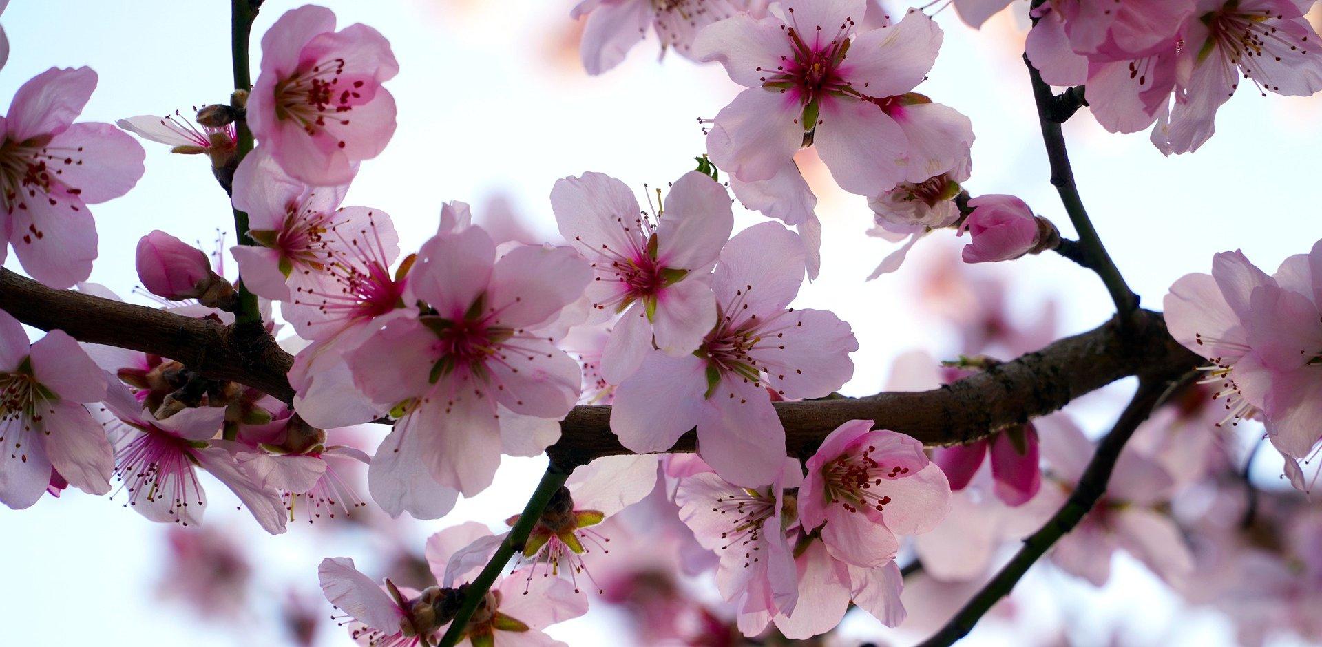 amandier en fleur sur le plateau de valensole