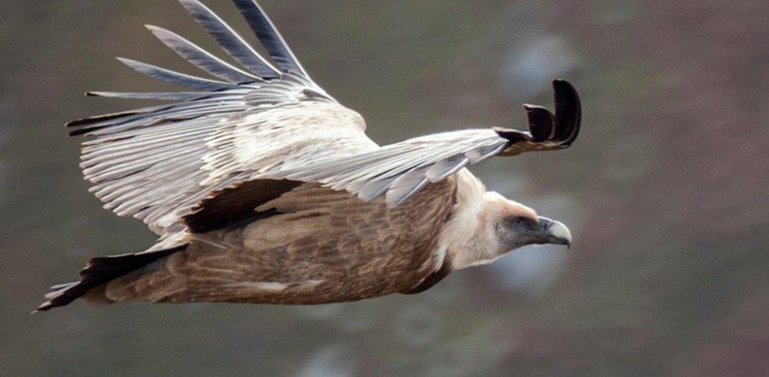 vulture of Verdon