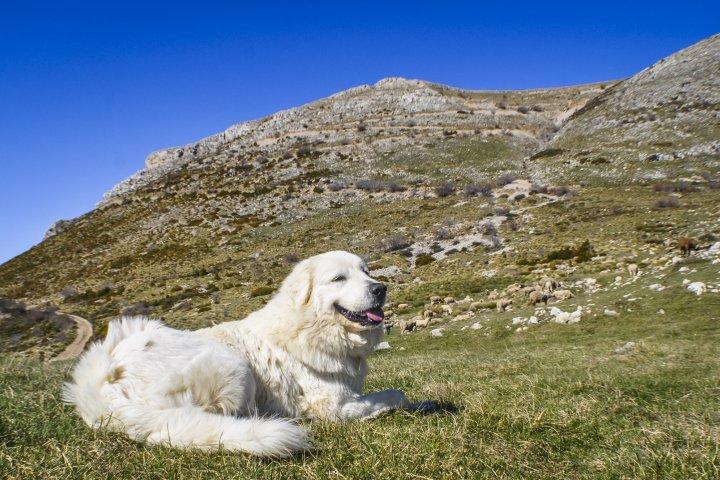 Sur les itinéraires de randonnée très fréquentés, gardons nos chiens en laisse et ne les poussons pas à emprunter les itinéraires interdits... [Crédit photo : ©AD04-Philippe Murtas]