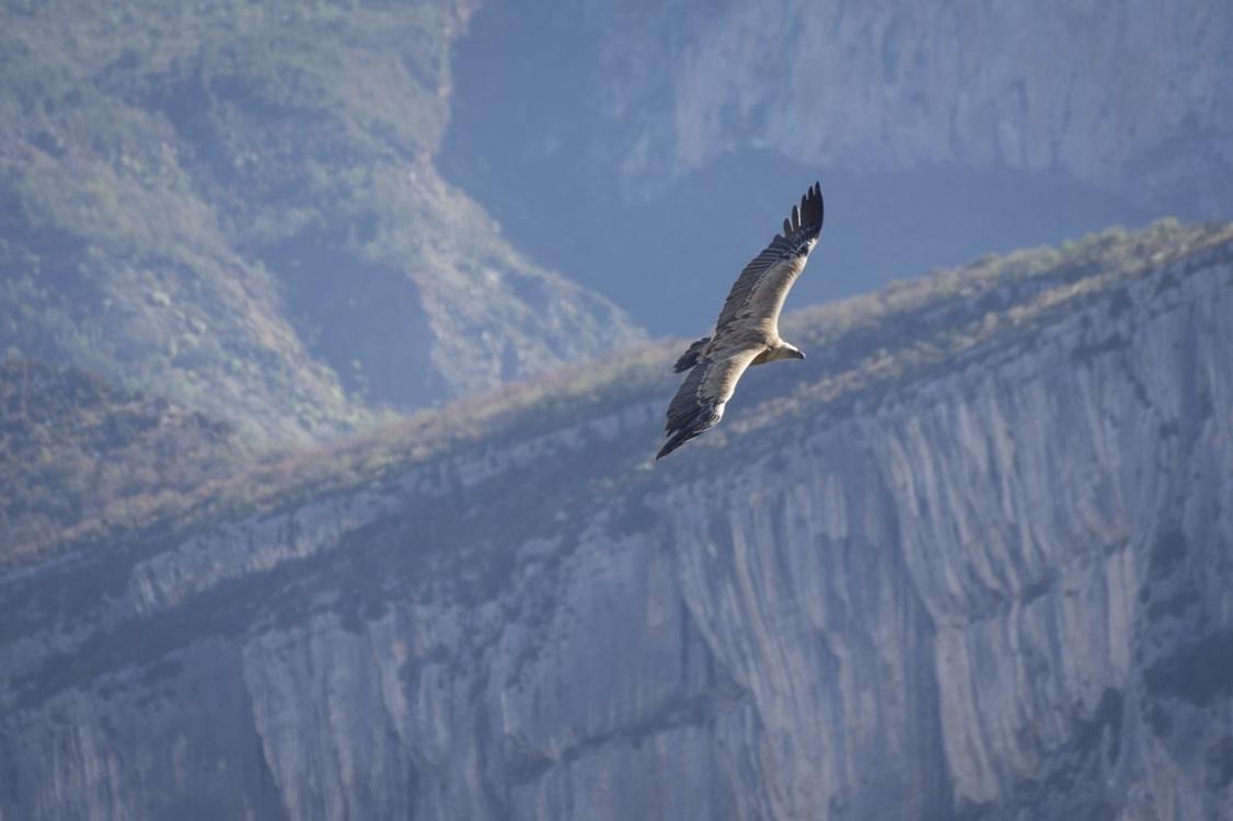"""Afin de """"ne pas déranger les oiseaux"""" (les vautours, mais aussi les espèces de rapaces protégées et rares..), certaines voies d'escalade sensibles des Gorges du Verdon ne sont pas ouvertes toute l'année... [Crédit photo : ©AD04-Philippe Murtas]"""
